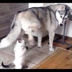 Το γατάκι και το χάσκι