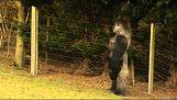 Ο γορίλας που περπατά σαν άνθρωπος
