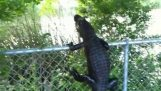 Alligator climbs into fence