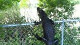Αλιγάτορας σκαρφαλώνει σε φράχτη