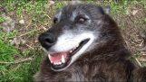 Дуже щаслива вовк