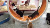 Hjulet gymnastik for katte