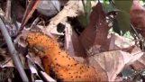 Νεογέννητο πουλί μιμείται μια κάμπια για να αποφύγει τα αρπακτικά