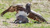 Αετός πιάνει ένα μικρό αγριόχοιρο