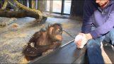 Orangutan är att se ett magiskt trick