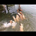 Κολυμπώντας μαζί με τα Golden Retriever