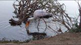 Cocodrilo ataca a cigüeña