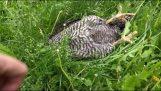 Το κοτόπουλο κοιμόταν εν ώρα εργασίας