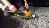 Ο παπαγάλος που παίζει σαν κουτάβι