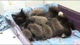 Γάτα υιοθετεί οκτώ νεογέννητους σκαντζόχοιρους