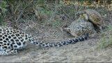 Χελώνες διακόπτουν μια λεοπάρδαλη την ώρα που κυνηγά