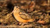 Die Waldschnepfe-Sängerin