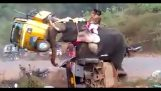 Elefante arrabbiato distrugge motocicli e tricicli in India