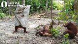 Orangutan chce vyděsit svého přítele