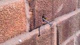 Μέλισσα βγάζει το καρφί από ένα τοίχο