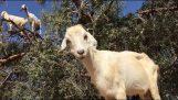 Le capre crescono sugli alberi