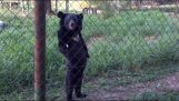 L'orso che cammina su due gambe
