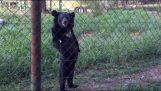 Η αρκούδα που περπατά στα δύο πόδια