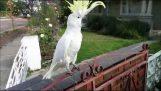 Παπαγάλος μιλάει, τραγουδάει και χορεύει ελληνικά