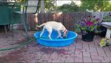 The dog tries to fill the pool of