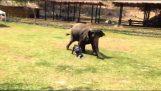 Слон предпазва настойник