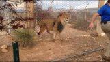 Ποτέ μη δείχνεις σε ένα λιοντάρι ότι φοβάσαι