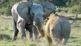 Slon proti nosorožca