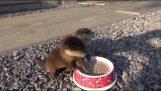Besleme yeni doğan iki su samuru