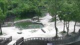 Δύο ελέφαντες διασώζουν το μικρό τους που πέφτει στο νερό