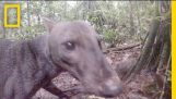 See an Extremely Rare Jungle Dog   National Geographic