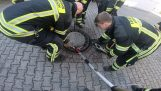 Rescue of a rat stuck on a manhole