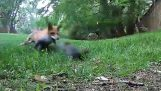 Fox vs squirrel
