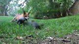 ضد السنجاب الثعلب