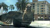 Hawk se jezdit na kapotu auta
