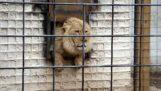 Furiosul leu în grădină zoologică