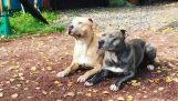 Συγχρονισμένοι σκύλοι