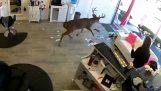 Jeleň vojde do salónu