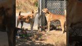 एक तार की बाड़ के पीछे दो कुत्तों
