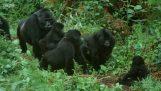 Robotická gorila gorila preniká skupinu