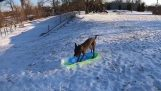 A dog goes sledding