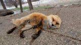 Радостен лисица