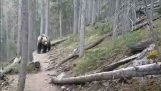 Australians encounter a grizzly bear in Canada