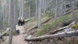 Αυστραλοί συναντούν μια αρκούδα grizzly στον Καναδά
