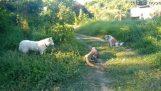 Gros lézard contre deux chiens