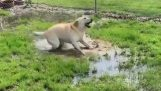 A blind dog discovers a puddle of water