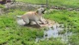 盲目の犬が水たまりを発見