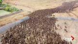 Rolnicy używają 10.000 kaczki, aby oczyścić swoje pola