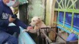 Räddning av en hund efter en översvämning (Mexico)
