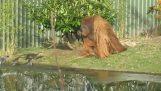 Видри срещу орангутан