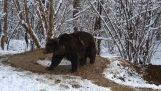 Μια αρκούδα με ψυχικά τραύματα